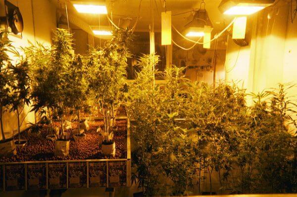 Marijuana legge Pequod